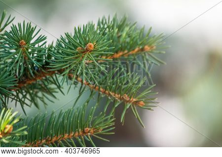 Fir Branches With Needles In The Sunset Light. Fir Branch In The Rays Of The Sun.