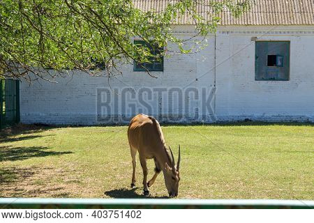 The Common Eland Grazing. It Is One Of The Largest Antelopes. Taurotragus Oryx Or The Southern Eland