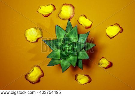 Castus with yellow and red rose petals on darh orange colored background