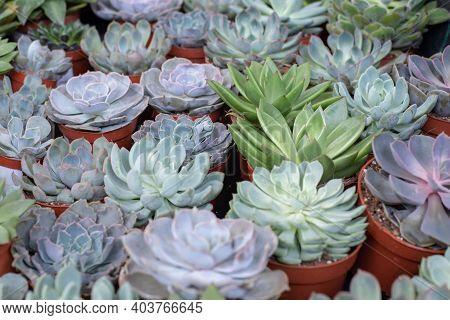 Exotic Potted Plants Succulent Echeveria Background, Sale Of Indoor Plants Echeveria Cacti