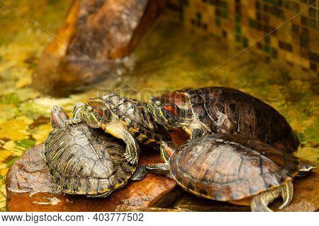 Red-eared Turtles. Aka Pond Slider Trachemys Scripta Elegans Sunbathes On A Rock In The Water. Selec