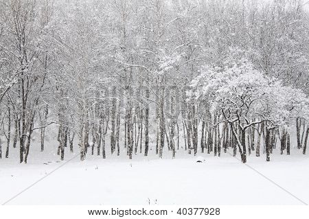 Snowfall In Forest
