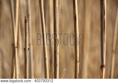 Frequent Dry Escapes Of Reed Create A Background Of Beige Color. On A Beige Background Fragments Of
