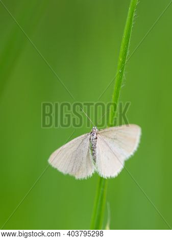 Drab Looper Moth (minoa Murinata) Tiny Butterfly, Insect On Grass