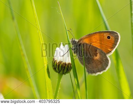 Small Heath (coenonympha Pamphilus) Butterfly On White Daisy Flower, Green Meadow Background
