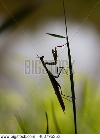 Praying Mantis (mantis Religiosa) Silhouette On Blade Of Grass, Insect, Ambush Predator