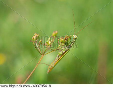 Praying Mantis (mantis Religiosa) On Green Plant, Insect, Ambush Predator