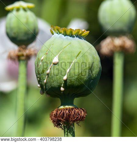 Sliced Poppy Seed For Opium, Detail Of Opium Poppy In Latin Papaver Somniferum