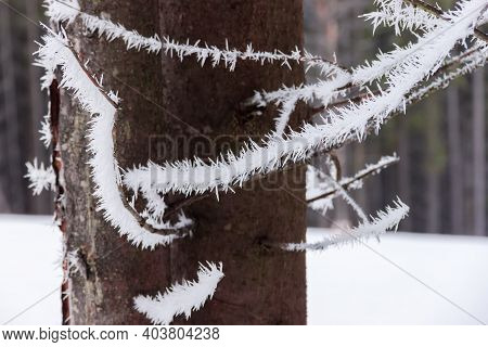 Dry Bottom Branches Of Spruces Covered With Hoarfrost On A Background Of Spruces Trunks In Cloudy We