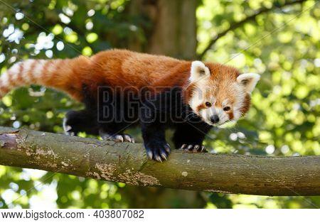 Red Panda Or Lesser Panda (ailurus Fulgens) In A Tree. Red Pandas Are Endangered Animals