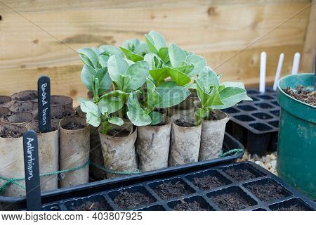 Growing Broad Bean (fava Bean) Seedlings In Toilet Rolls In A Cold Frame. Vegetable Growing In Winte