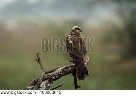 Eurasian Marsh Harrier Or Circus Spilonotus Portrait Or Closeup Perched On Tree Trunk With Natural G