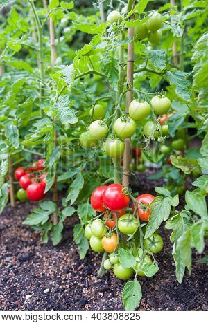 Tomatoes Growing Outdoors. Tomato Plants With Ripe, Red Tomatoes Outside In A Garden In England, Uk