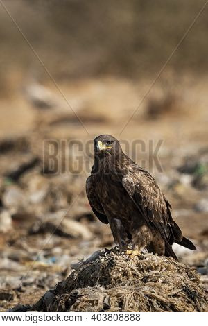 Steppe Eagle Or Aquila Nipalensis Portrait Or Closeup During Winter Migration At Jorbeer Conservatio
