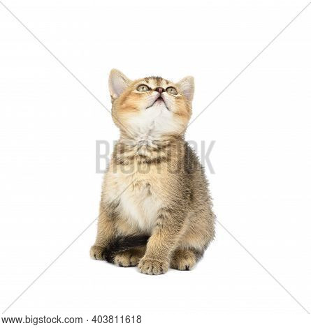 Kitten Golden Ticked British Chinchilla Straight Sits In Front On A White Isolated Background. The C