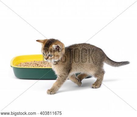 Kitten Golden Ticked British Chinchilla Straight And A Plastic Toilet With Sawdust. Animal On A Whit