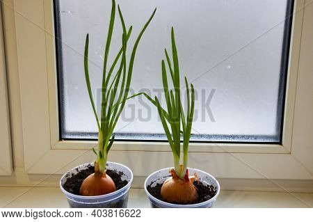 A Garden Of Young Onion On A Window Sill.growing Onions On The Windowsill. Green Onions At Home Indo