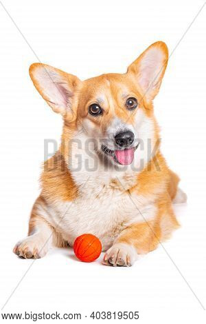 Smiling Pembroke Welsh Corgi Puppy Playing With A Toy White Background