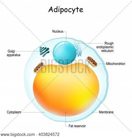 Adipocytes Anatomy. Structure Of Fat Cell. Adipose Tissue. Vector Illustration