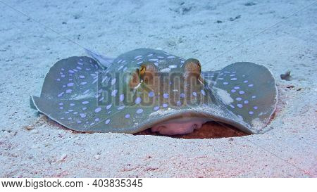 Blue-spotted Stingray Or The Bluespotted Ribbontail Ray (taeniura Lymma)