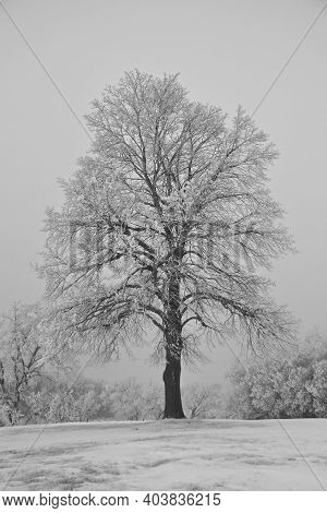 A Lone Tree Is Silhouetted In The Dense Fog And Covered With Hoar Frost.