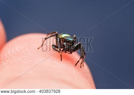 Close Up Image Of Jumping Spider. Macro Mode Close Up Shot Animal And Insect.