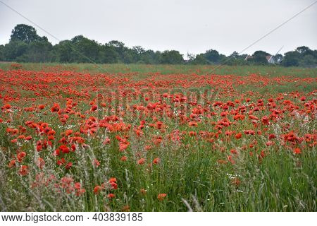 Lots If Blossom Poppies In A Corn Field