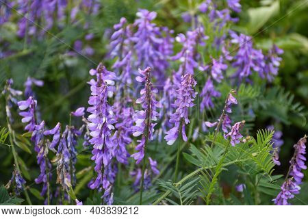 Beautiful Summer Flowers - Lilac Blossom Vetch Flowers Close Up