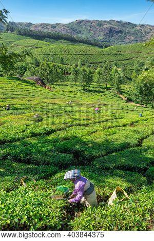 Munnar, India - January 28, 2020: Unidentified indian woman picking up fresh tea leaves at Munnar tea plantation in Kerala state, India