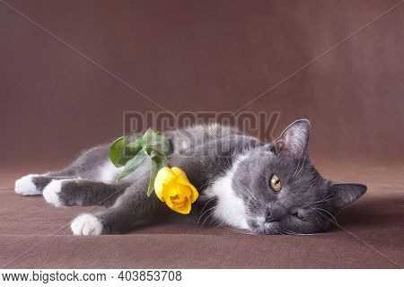 Romantic Grey Smoky Short-haired White-breasted Domestic Cat With White Paws Laying On Brown Backgro