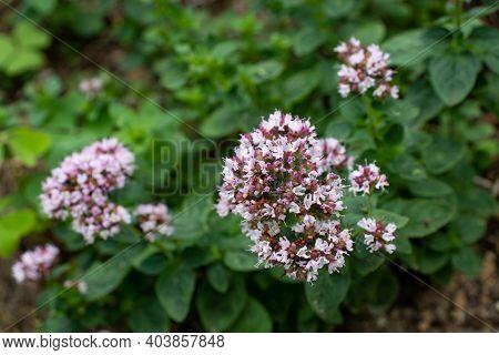 Oregano Plant Covered With Small Purple Flowers. Origanum Vulgare Or Wild Marjoram.