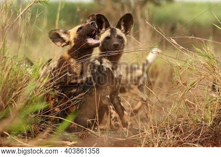 The African Wild Dog, African Hunting Dog, Or African Painted Dog (lycaon Pictus) Two Frolicking Pup