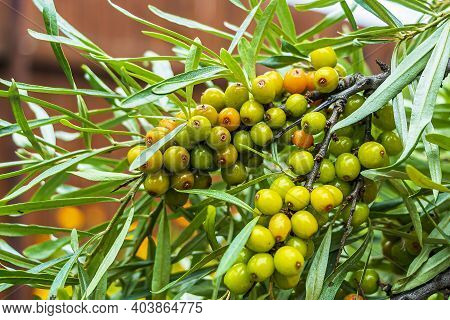 Unripe Green Berries On A Branch. Sea Buckthorn (hippophae Rhamnoides) Is Dioecious Shrub Or Tree, S
