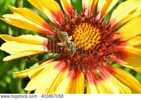 Honey Bee Pollinates Wild Flowers. The Global Problem Of Extinction Of Bees, Pollination Of Plants W