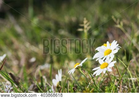Bellis Perennis White Daisies Among The Grassbellis Perennis White Daisies Among The Grass