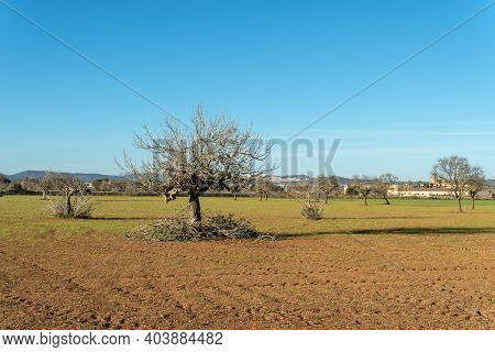 Mediterranean Landscape On A Sunny Afternoon With A Fig Tree (ficus Carica) Pruned In The Winter
