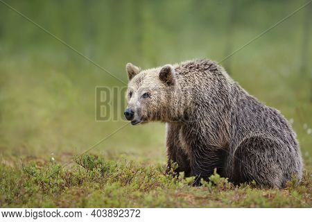 Close Up Of An Large Eurasian Brown Bear In Finnish Forest.