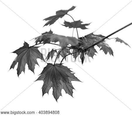 Branch Of Maple Tree With Maple-leafs Isolated On White Background. Black And White Toned Image.