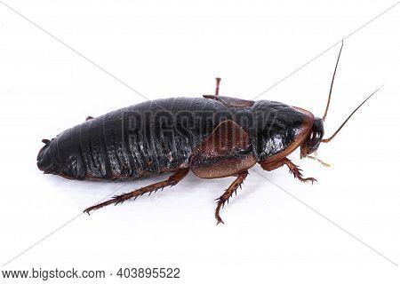 Argentinian Wood Roach Aka Blaptica Dubia, Isolated On White Background.