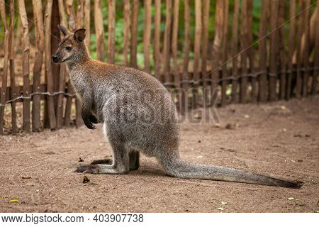 Red Necked Wallaby Or Bennetts Wallaby, Macropus Rufogriseus