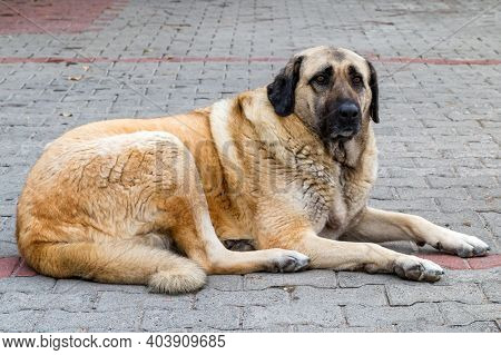 Close Up Of Anatolian Shepherd Or Kangal Shepherd Dog