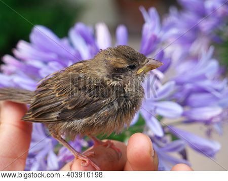 Close-up Of A Baby Sparrow In The Hands Of A Human, With An Agape Blue Flower In The Background. A H