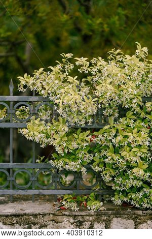 Fluffy Bush Of Jasmine On A Metal Fence Against The Backdrop Of Trees.