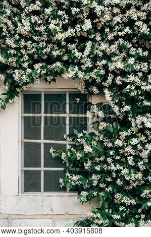 Jasmine With Small White Flowers By A Window With A Metal Grill.