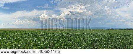 Corn Field Panorama