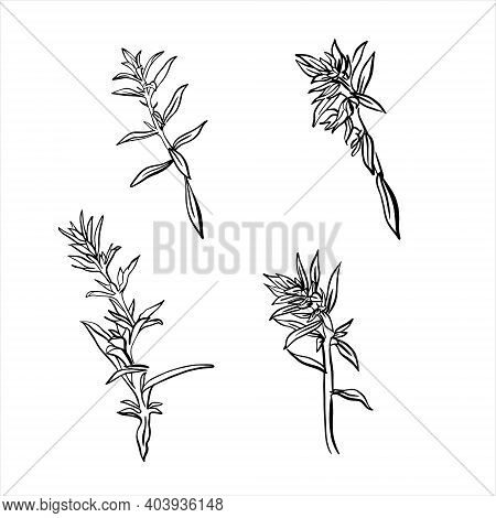 A Sprig Of Savory Isolated On A White Background. French Herbs. Flavorful Seasonings And . Hand-draw