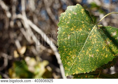 Green Simple Alternate Crenately Margined Deltoid Leaves Of Western Cottonwood, Populus Fremontii, S
