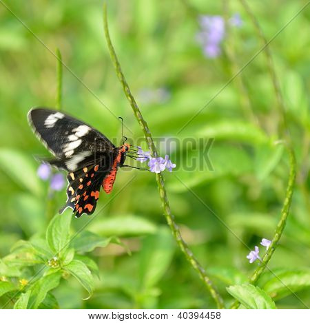 Pachliopta Hector Butterfly