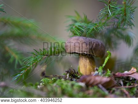 Mushroom In The Autumn Forest In The Leaves. An Edible Mushroom In A Deciduous Forest Or Park. Close