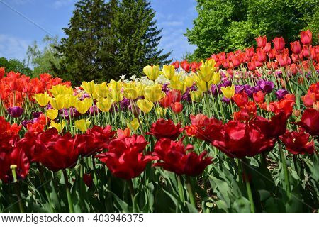 Background With Blooming Tulips Of Different Colors And Varieties. Various Varieties Of Colorful Tul